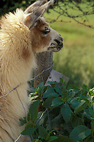 Close up of a lama llama