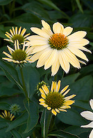Echinacea purpurea 'Big Sky Sunrise' coneflower