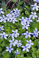 Blue flowers of Blue Star Creeper Isotoma fluviatalis, blue flowered low-growing groundcover plant. aka Laurentia fluviatilis