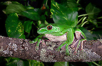 Chinese Gliding Tree Frog (Polypedates dennysi), native to Southern China, captive.