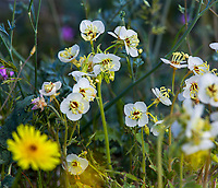 Chylismia claviformis, Brown-eyed Primrose, flowering wildflowerCalifornia native plant Anza Borrego State Park