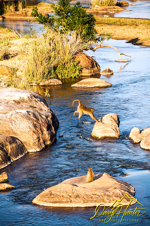 Baboons jumping from rock to rock at they cross the Sabi River in Kruger National Park.