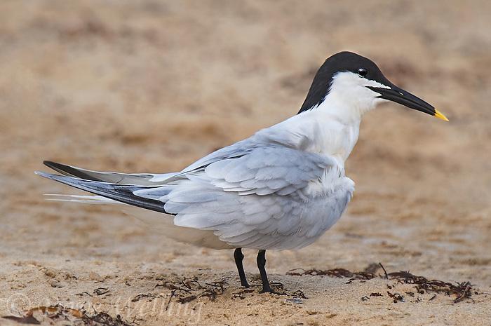 581790001 a wild adult sandwich tern thalasseus sandvicensis in breeding plumage stands on boca chica beach along the texas gulf coast