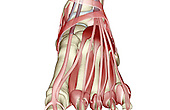An anterior view of the muscles of the foot. Royalty Free