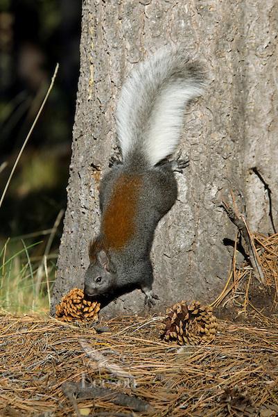 Tassel eared squirrel