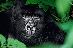 A portrait of a silverback gorilla among dense foliage in Volcanoes National Park, Rwanda.