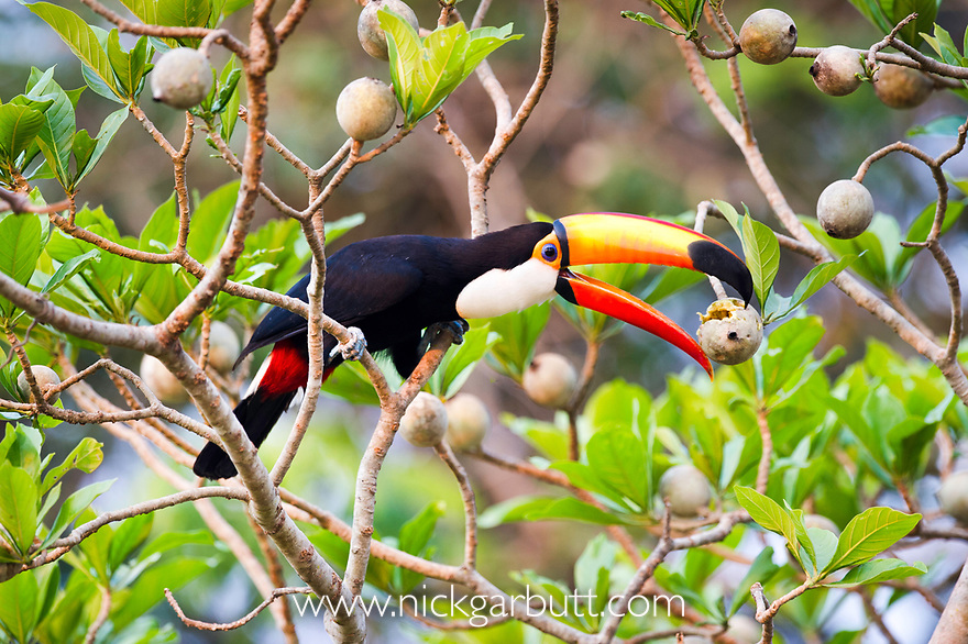 Toco Toucan (Ramphastos toco) (Family Ramphastidae) feeding on fruit in forest canopy. Banks of the Cuiaba River, northern Pantanal, Mato Grosso, Brazil.