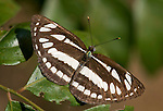 Common Sailor Butterfly, Neptis hylas, black and white stripes, Corbett National Park, Uttarakhand, Northern India.India....