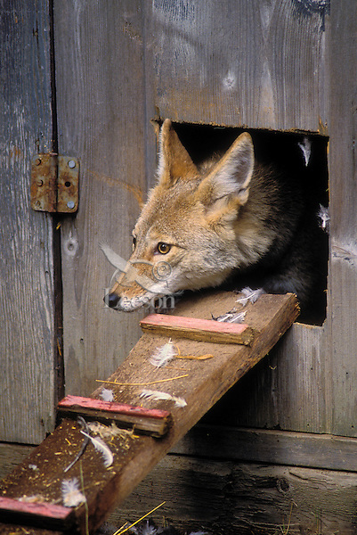 coyote henhouse