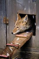 COYOTE raiding chicken coop..Predator/prey. Rocky Mountains..Autumn. (Canis latrans).