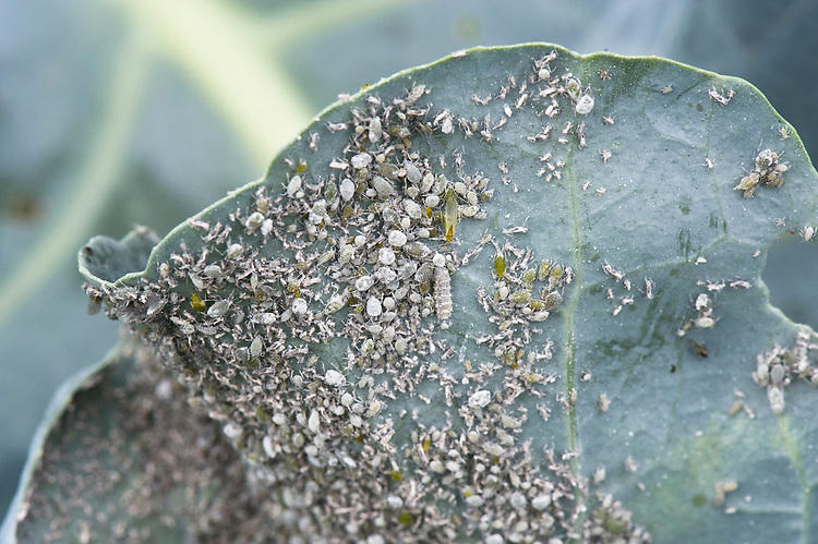 Broccoli infested with cabbage aphids and cabbage whitefly, late September. Visible are a shedded skins as well as a live insects. These pests are common to all brassicas, not just broccoli.