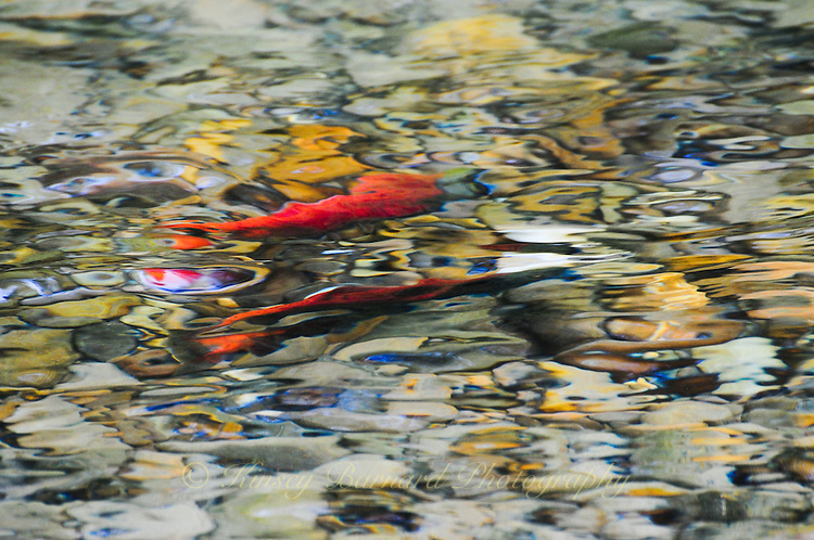 Kocanee Salmon spawn in the Tobacco River in Montana. The motion of the flowing water creating a surreal look at these colorful fish. ORIGINAL 24 X 36 GALLERY WRAPPED CANVAS SIGNED BY THE ARTIST $2,500. CONTACT FOR AVAILABILITY.