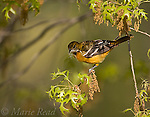 Baltimore Oriole (Icterus galbula), female carrying nest material, New York, USA