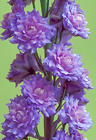 Delphinium Blueberry Pie Highlander double flowers
