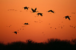 Group of cranes silhouetted against the orange sunset over Platte River, Nebraska