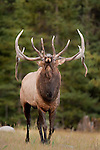 bugling trophy bull elk coming at the camera ears out, eyes bulging, head tipped way back huge wide antlers