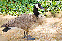 Canadian Goose, Arizona, USA