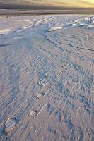 Polar bear tracks in the snow on Barter Island, arctic, Alaska