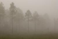 Foggy morning in Corkscrew Swamp in Naples, Florida.