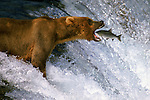 An Alaskan brown bear perfectly positions himself above Brooks Falls to catch a leaping salmon.
