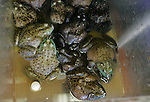Toads sit in a bucket in a fish market in the Chinatown district of San Francisco, California.  Jim Urquhart/Straylighteffect.com
