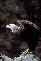 Mature Adult Bald Eagle (Haliaeetus leucocephalus) perched on Tree Stump and ready for Take Off