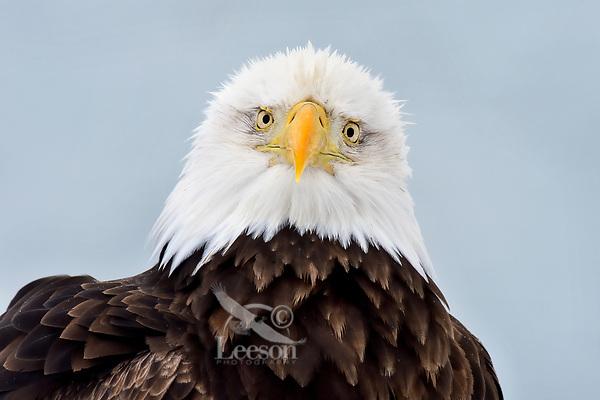 Bald Eagle (Haliaeetus leucocephalus).   Prince William Sound, Alaska.  March.