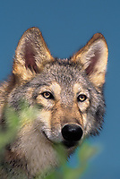694929502 portrait of a young gray wolf canis lupus - animal is a wildlife rescue and species is endangered in its distribution range of alaska canada and several northwestern states in the united states