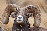Rocky Mountain Bighorn Sheep (Ovis canadensis)trophy ram portrait