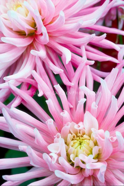 Dahlia 'Star's Favourite' Cactus Dahlia
