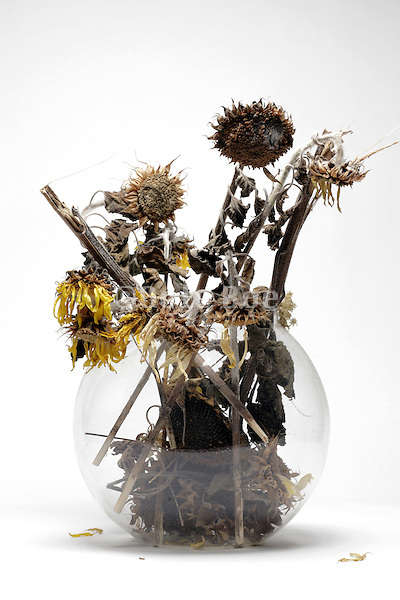 dried up dead sunflowers in a round vase