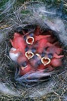 Blaumeise, bettelnde, sperrende Küken im Nest, Blau-Meise, Meise, Cyanistes caeruleus, Parus caeruleus, blue tit