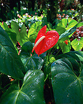 Anthurium, Island of Hawaii, Hawaii, USA<br />