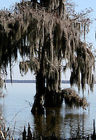 spanish moss and cypress tree in the bayou