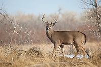 Whitetail deer (Odocoileus virginianus) buck in Colorado