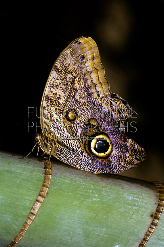 OWL BUTTERFLY<br /> Caliga memnon<br /> The Owl Butterfly uses mimicry to avoid predation. The large eyespot on its wing resembles an owl's eye and confuses predators.
