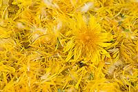 Löwenzahnblüten trocknen auf einem Tablett, getrocknete Blüten, Blüte, Löwenzahn-Blüten-Ernte, Wiesen-Löwenzahn, Gemeiner Löwenzahn, Kuhblume, Taraxacum officinale, Taraxacum sect. Ruderalia, Dandelion, Dent de lion