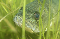 Walleye in underwater vegetation<br />