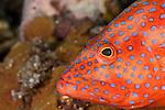 Coral grouper (Cephalopholis miniata) in the reef