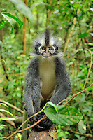 Thomas's Langur or Thomas's Leaf Monkey (Presbytis thomasi), Gunung Leuser National Park, Northern Sumatra, Indonesia