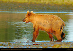 Alaskan Coastal Brown Bear, Golden Female Fishing at Sunset, Silver Salmon Creek, Lake Clark National Park, Alaska