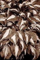 Layers of leaves of Hosta 'Undulata Univitatta', Vancouver, BC.