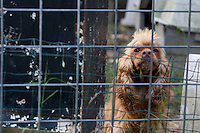 A penned dog during a raid on a puppy mill in Johnston, SC on Tuesday, Sept. 11, 2012. HSUS workers found over 200 dogs, nine horses and 30-40 fowl.
