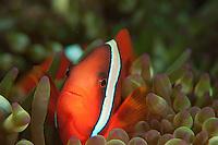 Clownfish at sand triangle Kerama Islands Japan.