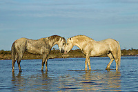 Camargue Horses standing in water, France