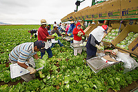 Agriculture -  A crew of field workers harvests a crop of mature Iceberg lettuce under morning overcast skies, typical of the Salinas Valley in Summer / Salinas Valley, California, USA.