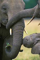 African Elephants (Loxodonta africana).  Trunk twining and touching are part of bonding behavior in cow-calf herds.  Here the adult female on left is greeted by an older daughter (top right) and her current calf.  Kenya.  Note:  Even at 9 years of age a calf still spends about half its time within 15 to 20 feet of its mother.