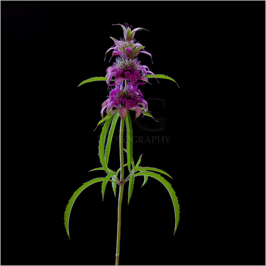 Purple Horsemint is a Texas Wildflower that has many names, including Horsemint, Lemon mint, and Lemon Beebalm. It blooms in the summer months with a purple and white unusual flowers. It is easy to grow and spreads, as well.