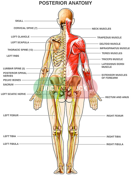 human anatomy - muscles of the back | doctor stock, Muscles