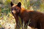 Black Bear, Cinnamon Cub Close Portrait, Elk Creek, Yellowstone National Park, Wyoming